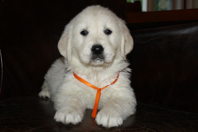 Beauty's boy - Mr. Tangerine at 6 weeks.