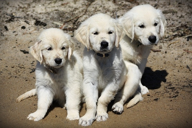 Sandy, wet puppies from Abby's previous litter - Enjoying the beach !