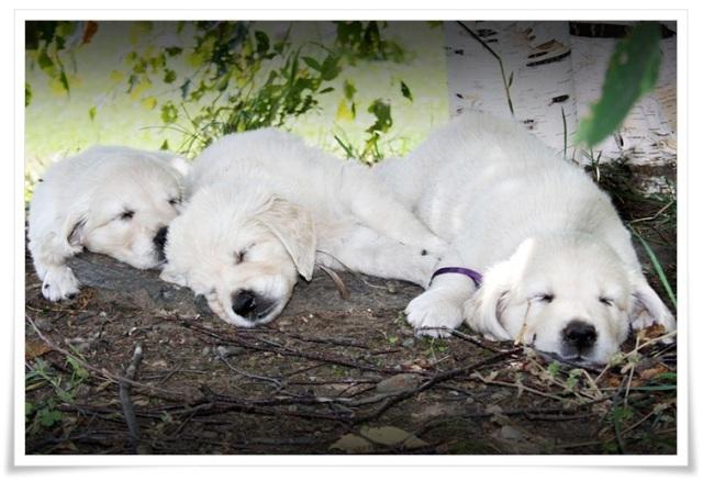 Abby pups