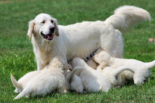 Sparkle with puppies from her 1st litter